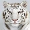 tiger111